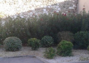 Massif d'arbustes et de lauriers roses