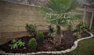 Invitation au voyage avec ce palmier Chamaerops